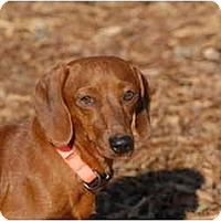 Adopt A Pet :: Dot - Ft. Myers, FL