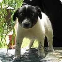 Adopt A Pet :: Boomarang - Staunton, VA