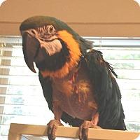 Adopt A Pet :: BJ - Lexington, GA