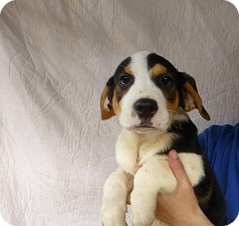 Bernese Mountain Dog Rescue Florida