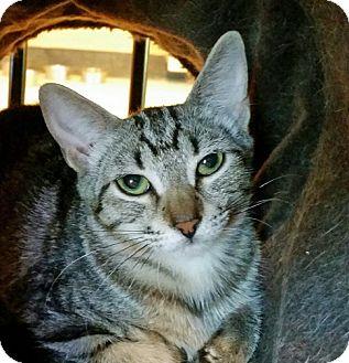 Domestic Mediumhair Cat for adoption in Mountain Center, California - Java