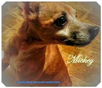 Chihuahua/Terrier (Unknown Type, Medium) Mix Dog for adoption in Akron, Ohio - Mickey 'Chupacabra'