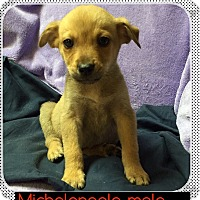 Adopt A Pet :: Michelangelo (pom-dc) - Spring Valley, NY