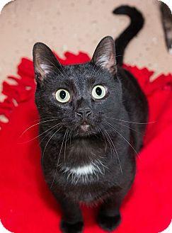 Domestic Shorthair Cat for adoption in Seville, Ohio - Leo-Sponsored