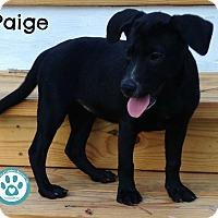 Adopt A Pet :: Paige - Kimberton, PA