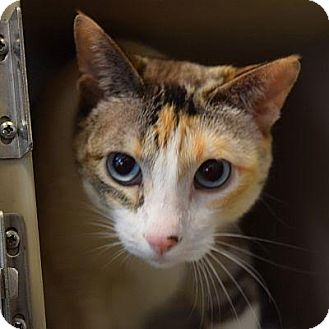Domestic Shorthair Cat for adoption in Denver, Colorado - Mulan