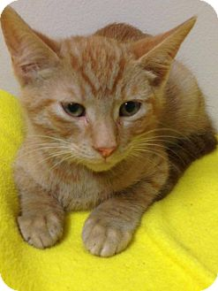 Domestic Shorthair Kitten for adoption in St. Francisville, Louisiana - Lester