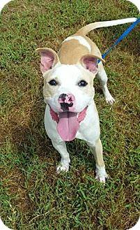 Pit Bull Terrier Dog for adoption in Richmond, Virginia - Casper in Hopewell, VA