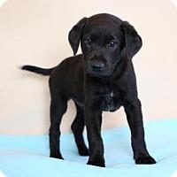Adopt A Pet :: Charles Dickens - Berkeley Heights, NJ