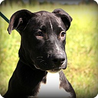Adopt A Pet :: Gunner~meet me~ - Glastonbury, CT