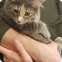 Domestic Mediumhair Cat for adoption in Johnson City, Tennessee - Bona Bell