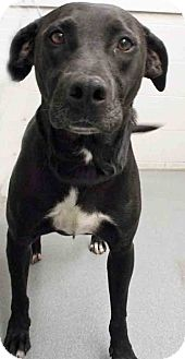 Labrador Retriever Mix Dog for adoption in Channahon, Illinois - ADOPTED!!!   Mindy