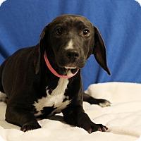 Adopt A Pet :: Becka - Waldorf, MD