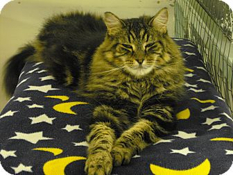 Domestic Longhair Cat for adoption in Mission, British Columbia - Mr. Finster