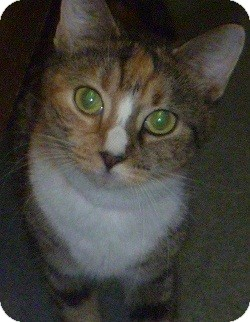 Domestic Shorthair Cat for adoption in Hamburg, New York - Darling