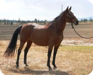 Thoroughbred for adoption in Black Forest, Colorado - Fling - TB Mare