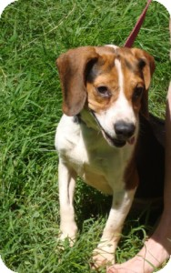 Beagle Mix Dog for adoption in Dumfries, Virginia - Tyco