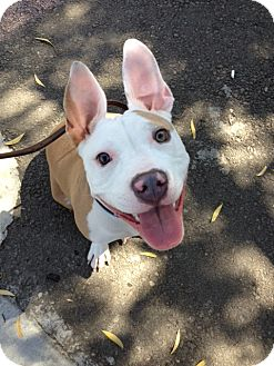 American Staffordshire Terrier/Pit Bull Terrier Mix Dog for adoption in San Diego, California - Bunny