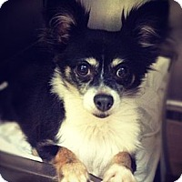 Adopt A Pet :: Violet - New York, NY