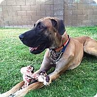 Adopt A Pet :: Bull - Phoenix, AZ