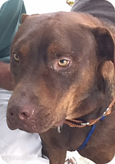 Labrador Retriever/Pit Bull Terrier Mix Dog for adoption in Homestead, Florida - charlie
