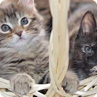 Adopt A Pet :: Yo Yo - Merrifield, VA