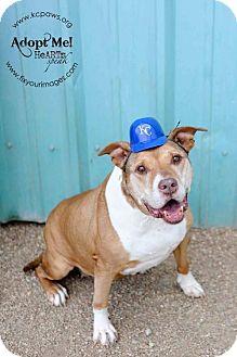 Pit Bull Terrier Dog for adoption in Kansas City, Missouri - Edna