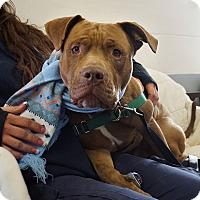 Adopt A Pet :: Logan - Mt Vernon, NY