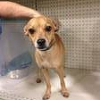 Chihuahua Mix Dog for adoption in Baton Rouge, Louisiana - Jasper