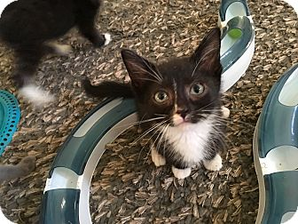 Domestic Shorthair Kitten for adoption in Mount Laurel, New Jersey - Cozumel
