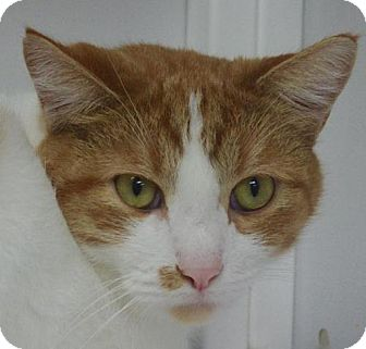 Domestic Shorthair Cat for adoption in Nashville, Indiana - Gordon