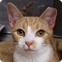Domestic Shorthair Cat for adoption in New York, New York - Jules