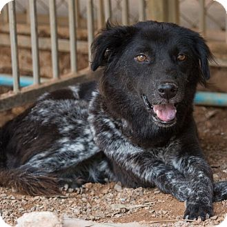 Border Collie/Spaniel (Unknown Type) Mix Dog for adoption in Long Beach, New York - Audrina