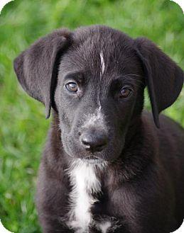Great Dane/Collie Mix Puppy for adoption in Mechanicsburg, Pennsylvania - Stella