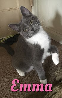 Domestic Shorthair Kitten for adoption in Cheney, Kansas - Emma