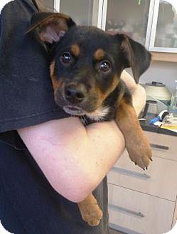 Australian Cattle Dog Mix Puppy for adoption in Chicago, Illinois - Sakura