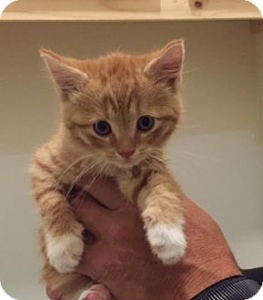 Domestic Shorthair Kitten for adoption in Burlington, North Carolina - WINSLOW