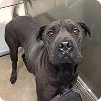 Adopt A Pet :: Sharpy - Lexington, NC