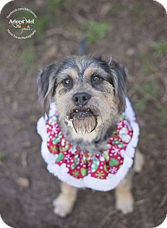 Schnauzer (Standard)/Terrier (Unknown Type, Medium) Mix Dog for adoption in Seattle, Washington - Deacon