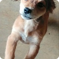 Shih Tzu Mix Puppy for adoption in Albany, New York - Jazzy
