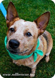 Cattle Dog Dog for adoption in Brooklyn Center, Minnesota - Sidney