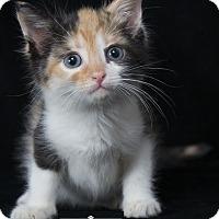 Adopt A Pet :: Sugar Plum - Nashville, TN