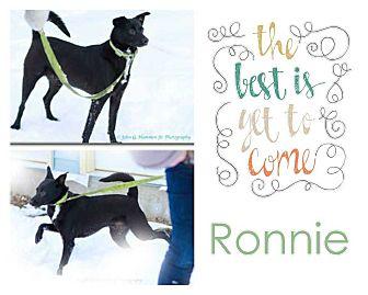 Labrador Retriever Mix Dog for adoption in Clear Lake, Iowa - Ronnie