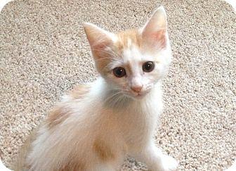 Domestic Shorthair Kitten for adoption in Cincinnati, Ohio ...