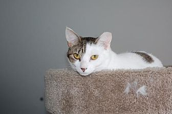Domestic Shorthair Cat for adoption in Alpharetta, Georgia - Tory