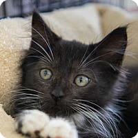Adopt A Pet :: Zulu - Merrifield, VA