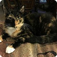 Calico Cat for adoption in Apopka, Florida - Molly