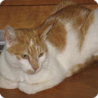 Adopt A Pet :: Abner - Sweet, shy lap cat - Harrisburg, PA