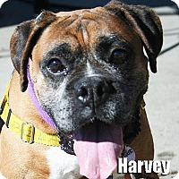 Adopt A Pet :: Harvey - Encino, CA