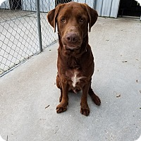 Adopt A Pet :: Big Red - Williston, FL